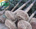 苗圃专用小型断根起树机带土球挖树机直销