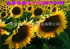 陕西两行葵花播种机价格 均匀下种精播机