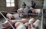 张家口怀孕母猪群养饲喂站\母猪喂养系统